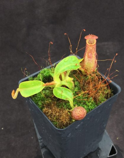 Nepenthes robcantleyi x veitchii