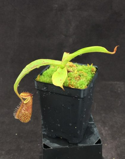 Nepenthes hamata x robcantleyi