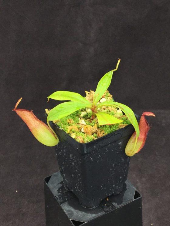 Nepenthes (ampullaria x mirabilis) x dubia