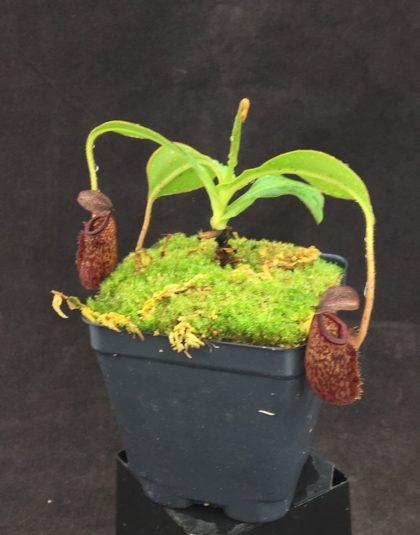 Nepenthes talangensis x glandulifera