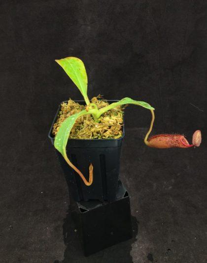 Nepenthes (lowii x boschiana) x veitchii (k) #2