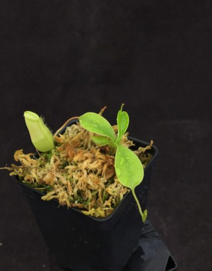 Nepenthes sibuyanensis (d) giant x squat