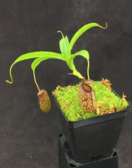 Nepenthes aristolochioides x burkei