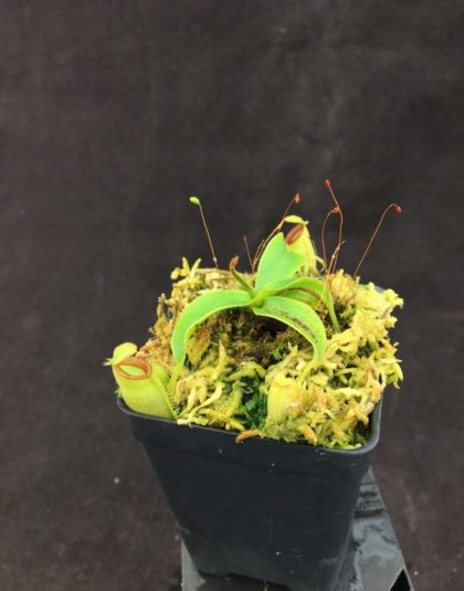 Nepenthes ampullaria hybrid #1