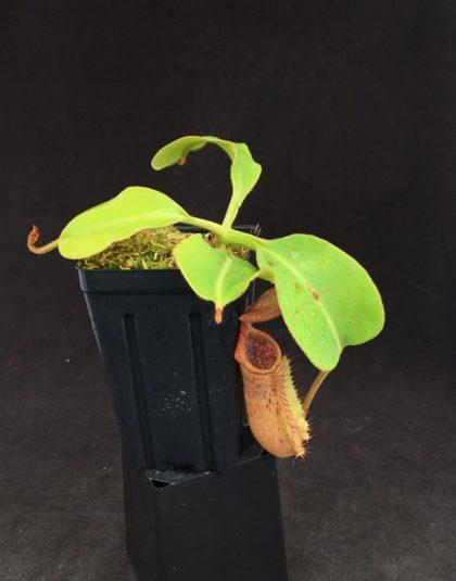 Nepenthes (lowii x boschiana) x veitchii (k) #3
