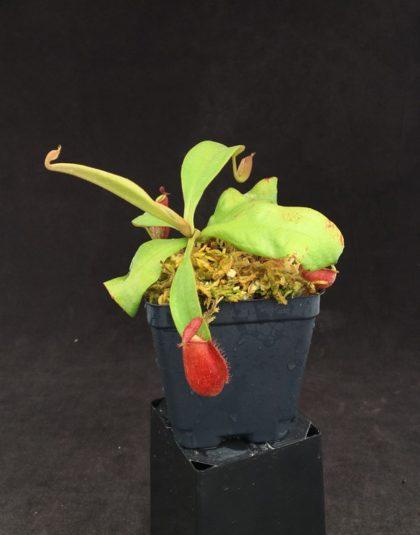 Nepenthes ampullaria x spectabilis