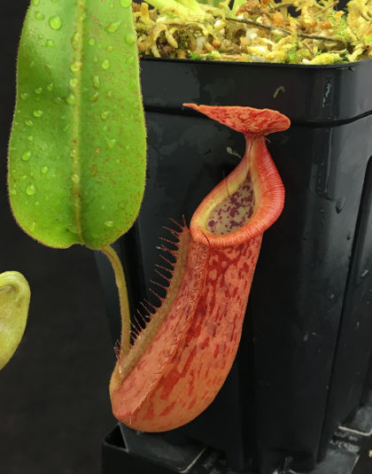 Nepenthes (Rokko 'Exotica' x boschiana) x veitchii