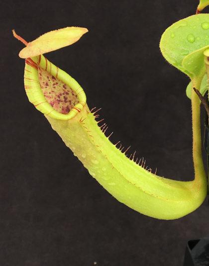 Nepenthes truncata - seed grown - specimen