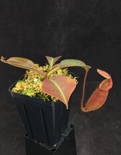 Nepenthes truncata - giant x ovata