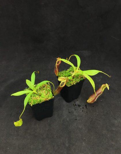 Nepenthes singalana - Belirang