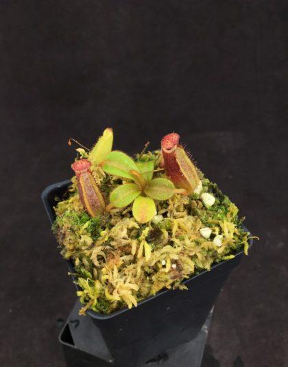Nepenthes (thorelii x truncata) x veitchii