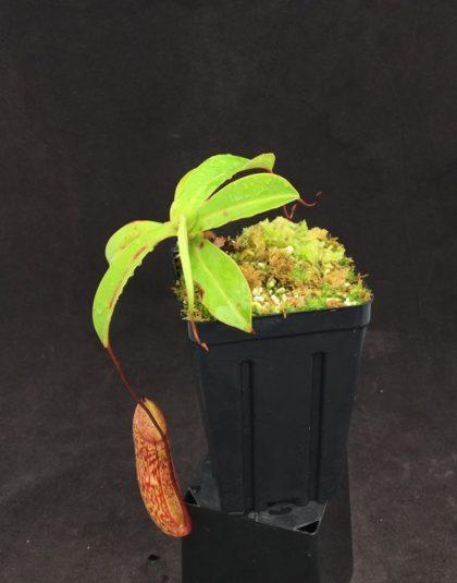Nepenthes (ventricosa x sibuyanensis) x macfarlanei