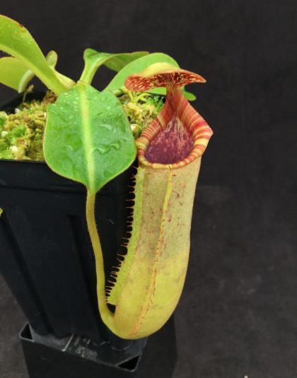 Nepenthes (lowii x boschiana) x veitchii (k) #4