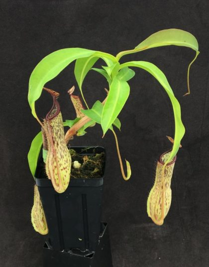 Nepenthes Temperance