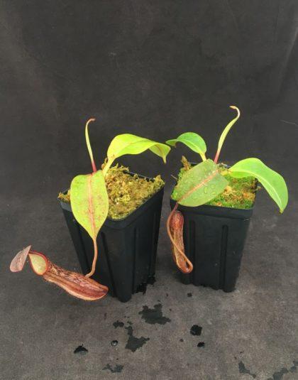 Nepenthes boschiana