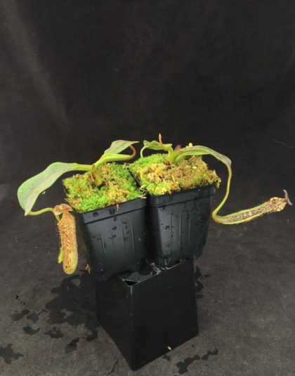 Nepenthes maxima x vogelii