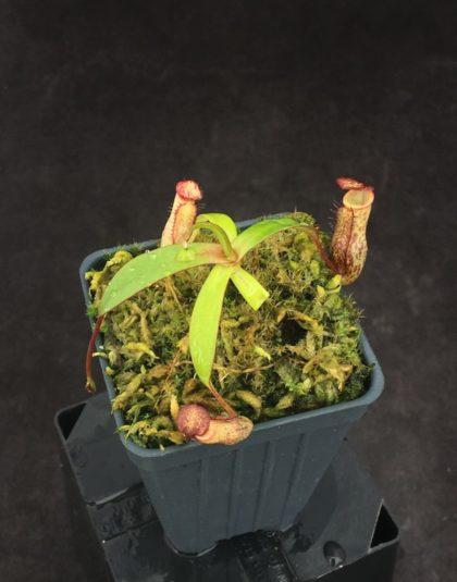 Nepenthes macfarlanei x ramispina