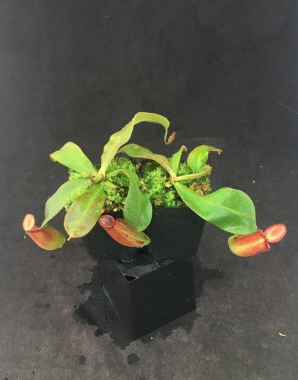 Nepenthes ampullaria x veitchii