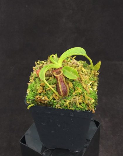 Nepenthes spathulata x lowii