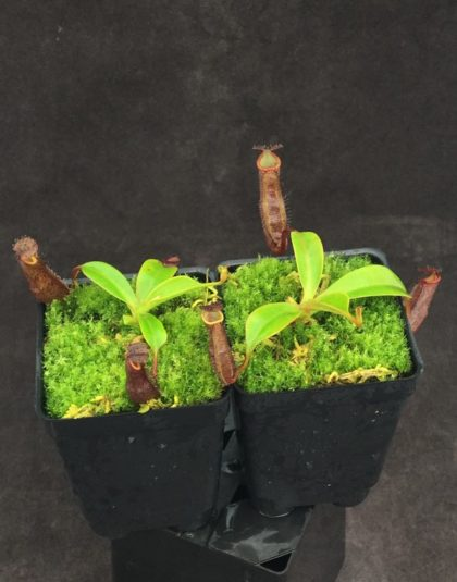 Nepenthes maxima x ramispina