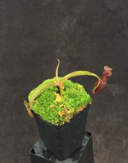 Nepenthes densiflora x rafflesiana