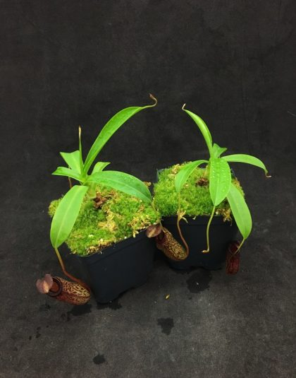 Nepenthes aristolochioides x ventricosa