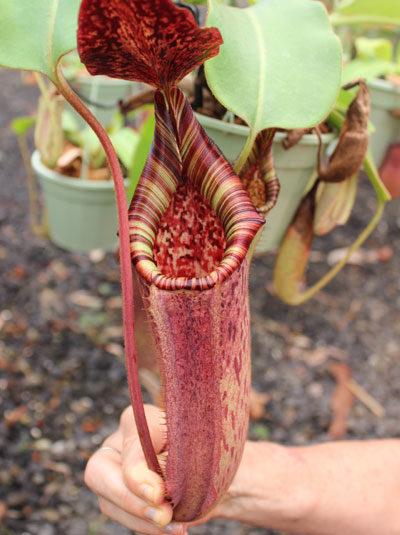 Nepenthes (lowii x veitchii) - red x burbidgeae