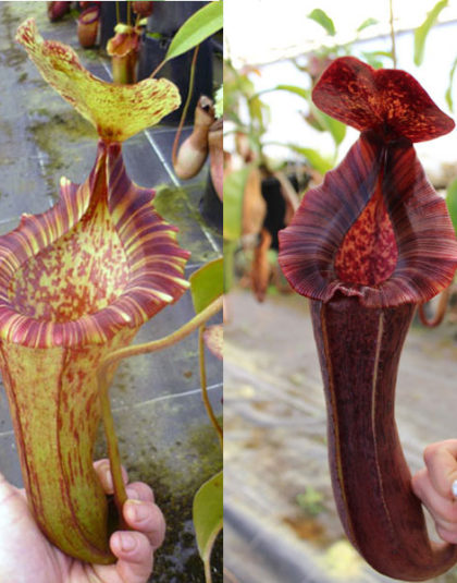 Nepenthes [(lowii x veitchii) - yellow x boschiana] x [(lowii x veitchii) - red x boschiana]