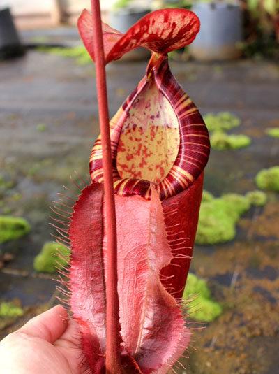 Nepenthes sumatrana x rowanae