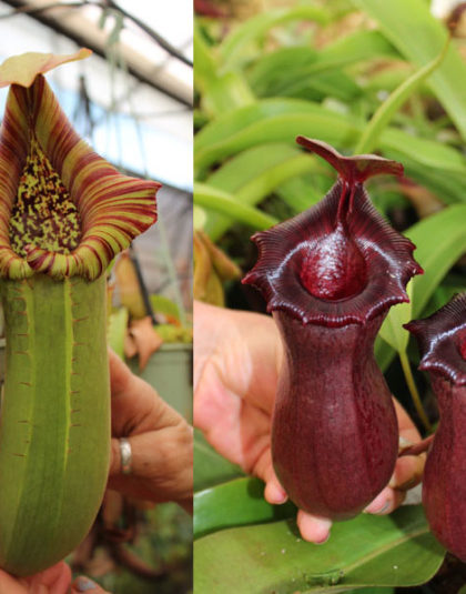 Nepenthes truncata - squat x {(ventricosa x sibuyanensis) - giant x [ventricosa x (lowii x ventricosa)]}
