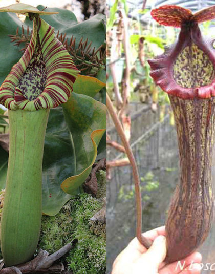 Nepenthes truncata - giant x boschiana