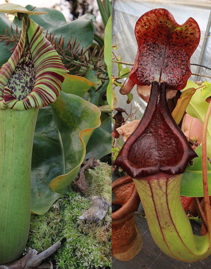 Nepenthes truncata x (truncata x ephippiata)
