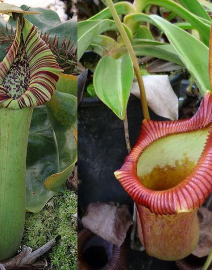 Nepenthes truncata x {[ventricosa x (spathulata x lowii)] x xtrusmadiensis}