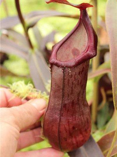Nepenthes ventricosa x angasanensis