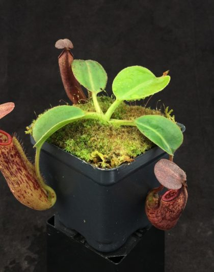 Nepenthes glandulifera x robcantleyi