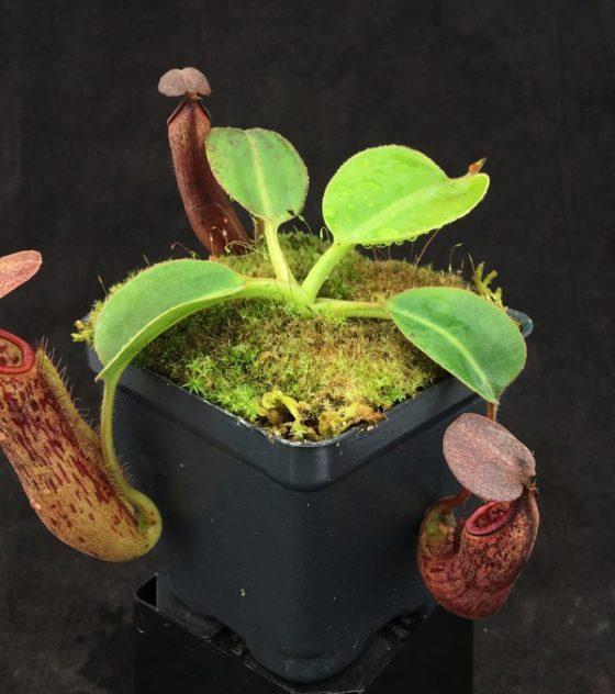 Nepenthes glandulifera x robcantleyi