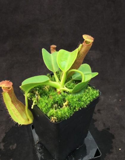 Nepenthes truncata - Pasian