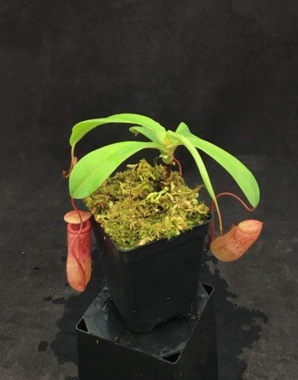 Nepenthes ventricosa x sibuyanensis