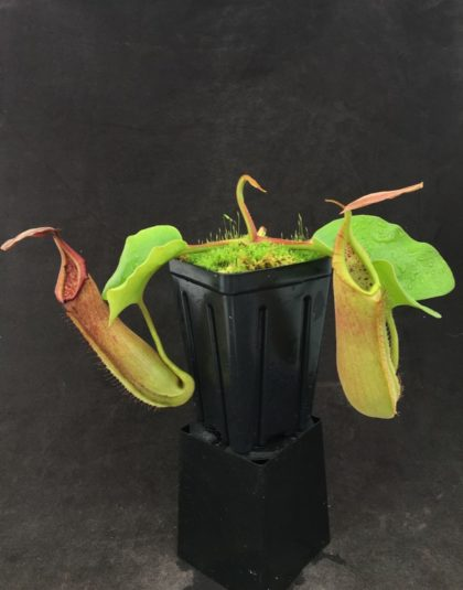 Nepenthes truncata