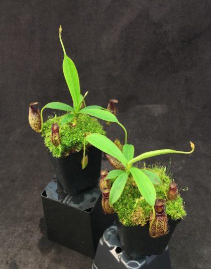 Nepenthes spectabilis x aristolochioides