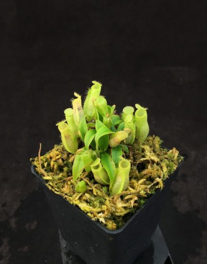 Nepenthes ampullaria hybrid