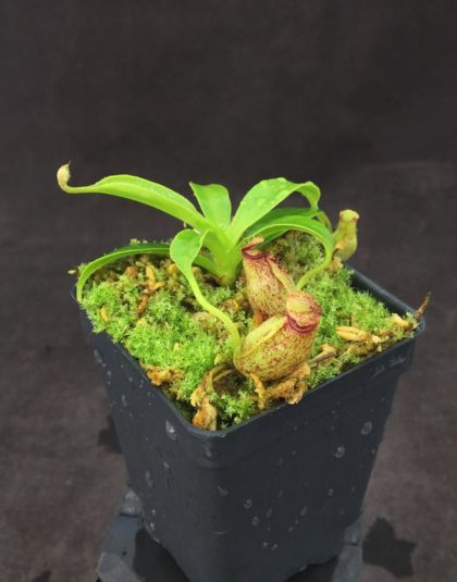 Nepenthes aristolochioides x robcantleyi
