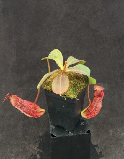 Nepenthes (veitchii x lowii) x spectabilis