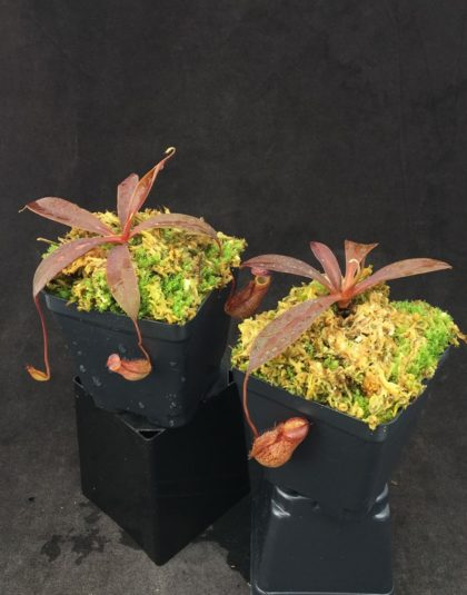 Nepenthes boschiana x tenuis