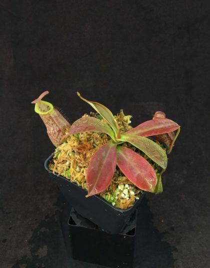 Nepenthes spathulata x spectabilis