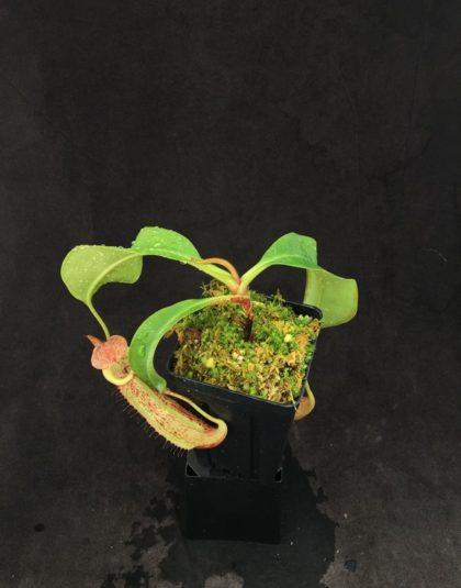 Nepenthes (Rokko Exotica x boschiana) x veitchii - Hose Mountains