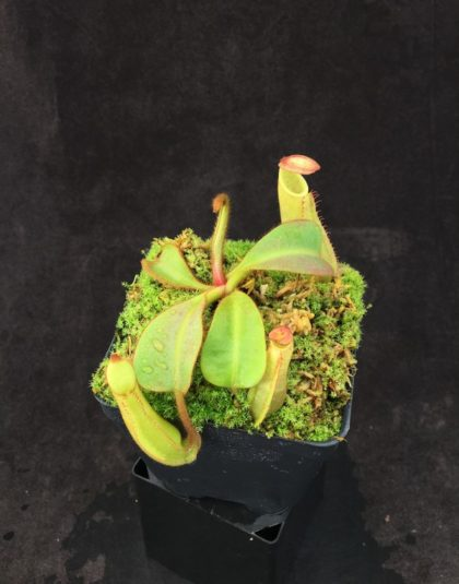 Nepenthes veitchii Gunung Murud x veitchii Candy Stripe