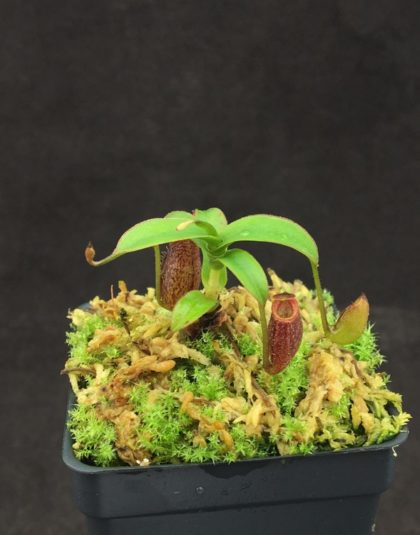 Nepenthes aristolochioides (Tujuh) x spectabilis