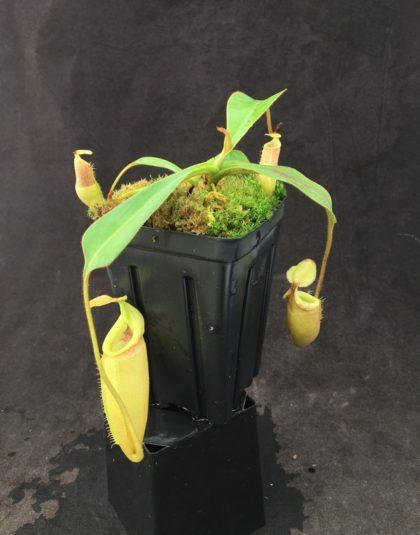 Nepenthes (talangensis x mira) x veitchii (k)