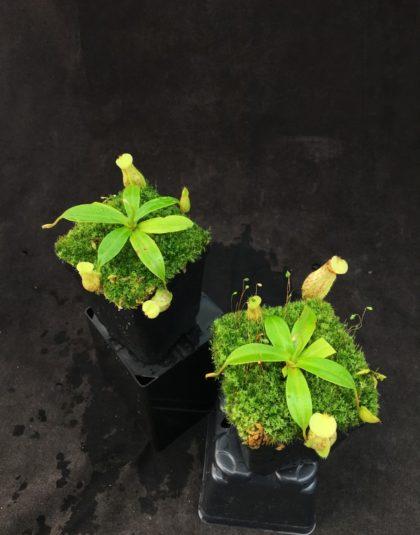 Nepenthes ventrciosa x rafflesiana